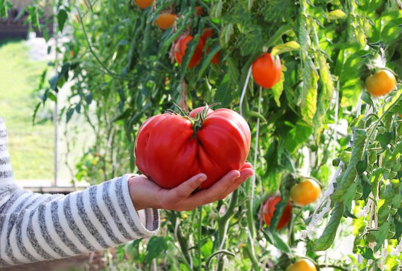 Quand planter les plants de tomates en pleine terre